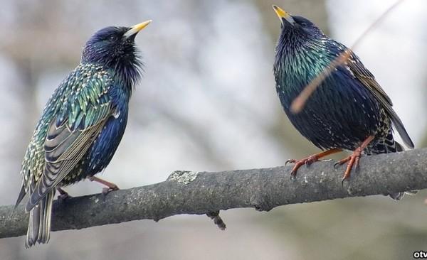 Трели птиц