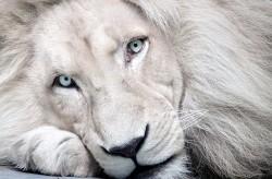 Белый лев - альбинос