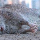 К чему снится мышь убил