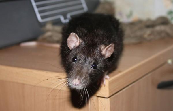 Крыса на столе