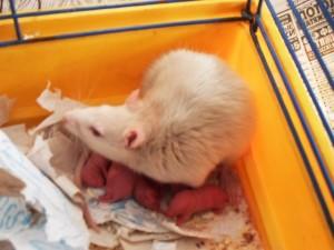 Крыса в зоомагазине