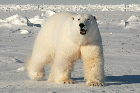 Сон гонится белый медведь фото