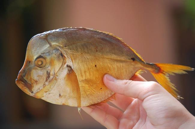 сонник смуровой ловить рыбу