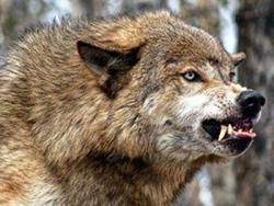 Волк скалит зубы
