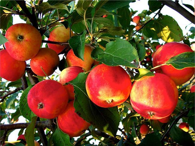 Красивые розовые румяные яблоки