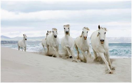 Белые кобылы скачут по берегу