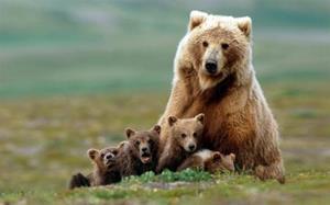 Толкование снов медведица с медвежатами фото