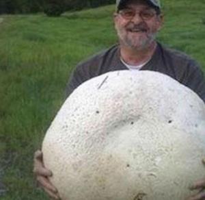 большие белые грибы фото