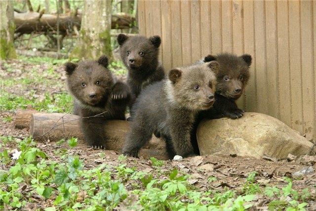 Много медвежат