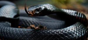 Что означает если сниться змея черная