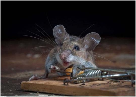 Мышь в мышеловке