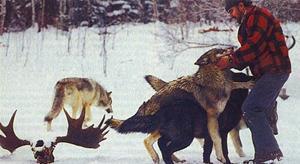 Мужчина с волками