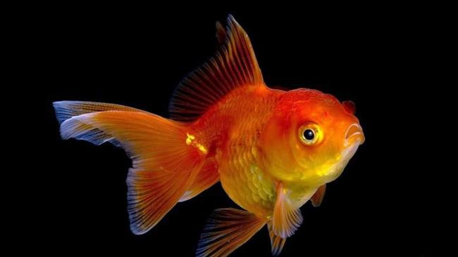 снится чему поймать золотая рыбка к