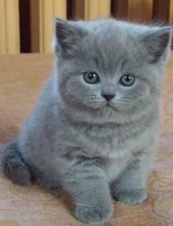 К чему снятся дымчатый кот