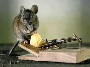 К Чему Снятся Мыши Маленькие Серые Убить