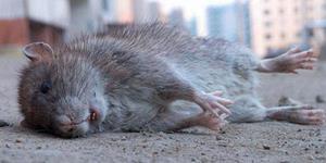 Если сняться мертвые крысы
