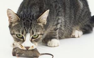 Кот убил мышь
