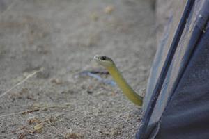 Змея в палатке