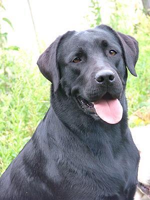 Фото Сонник огромная черная собака