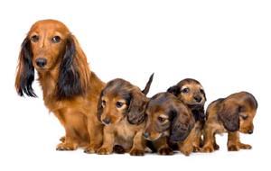 Щенки и взрослая собака