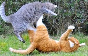 Кошачья драка на улице