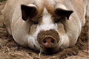 Жирная большая свинья