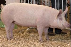 Обычная свинья