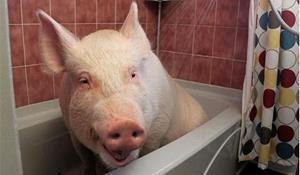Свинья в городской квартире