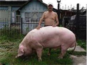 Свинья на улице