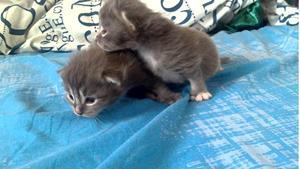 Серые котята