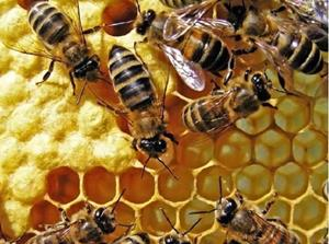 Пчелы летят на мёд