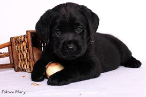 Чёрный щенок