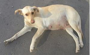 Фото Сонник беременная собака