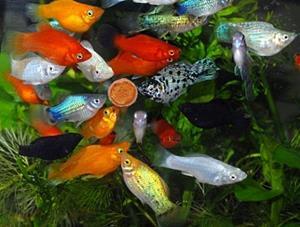 Декоративные аквариумные рыбки