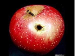 Черви в яблоке