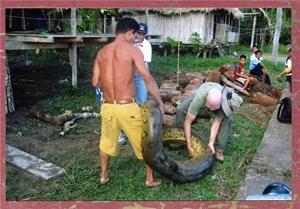 Вскрытие убитой анаконды