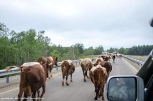 Коровы перегородили дорогу во сне