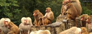 Семья обезьян во сне