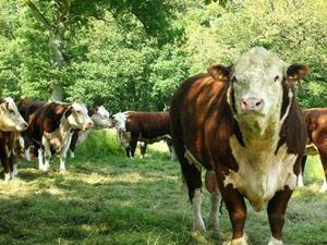 Стадо крупных быков