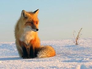Снится лиса