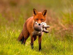 Лисица поймала зайца
