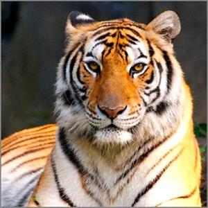 Снится тигр