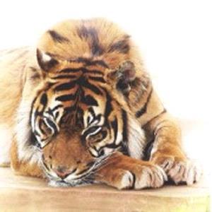 Тигр дремлет