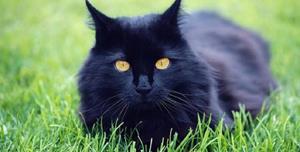 Снится чёрный кот