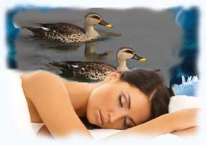 Утка во сне
