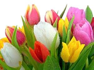 Снятся тюльпаны