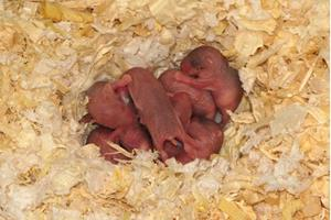 Новорожденные хомячки