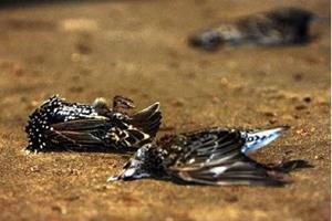 Снятся мёртвые птицы
