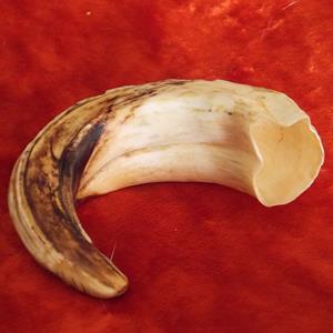 Клык кабана