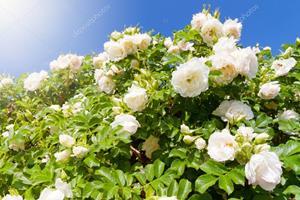 Кустарник белых роз